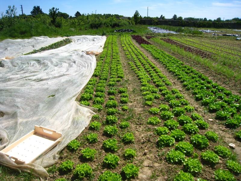 Rangs de salade sans mécanisation