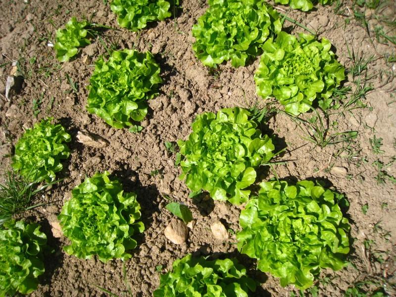 Salades en quinconce