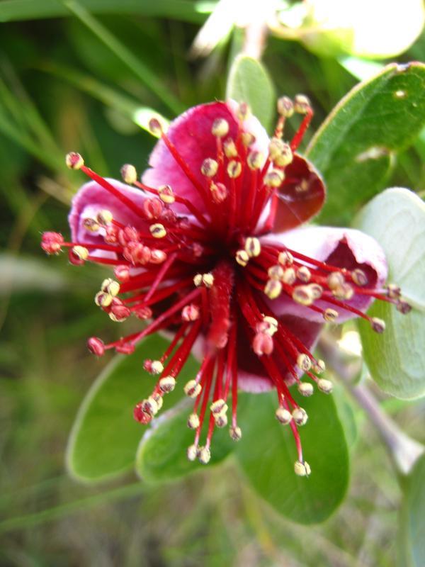 Fleur de feijoa