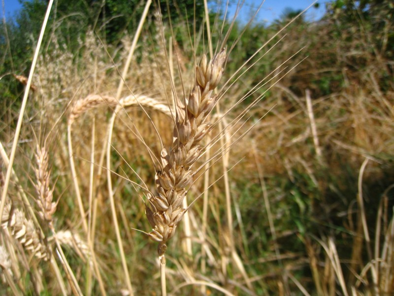Epi de blé barbu