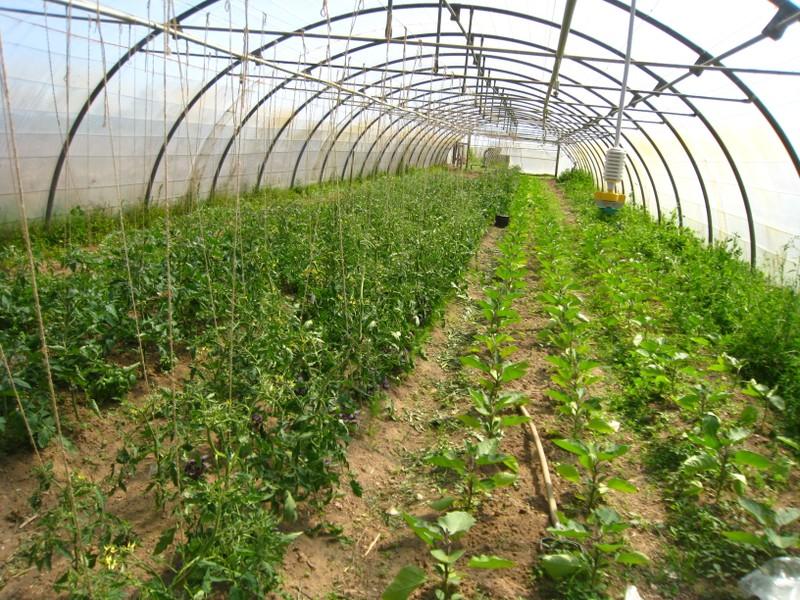Tomates et aubergines sous tunnel