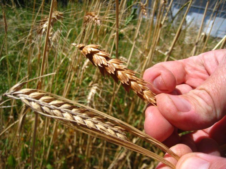 Orge et blé